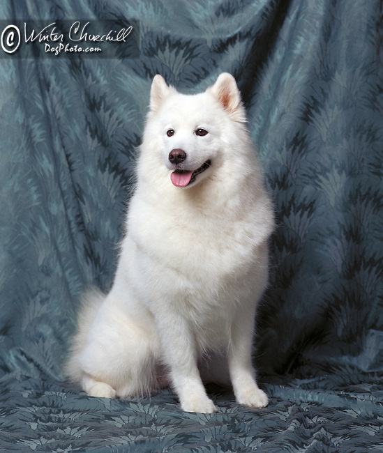 samoyed Shopping cart has 3 Tabs:<br /> <br /> 1) Rights-Managed downloads for Commercial Use<br /> <br /> 2) Print sizes from wallet to 20x30<br /> <br /> 3) Merchandise items like T-shirts and refrigerator magnets