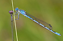 Common Blue Damselfly {Enallagma cyathigerum} Derbyshire, UK. June.