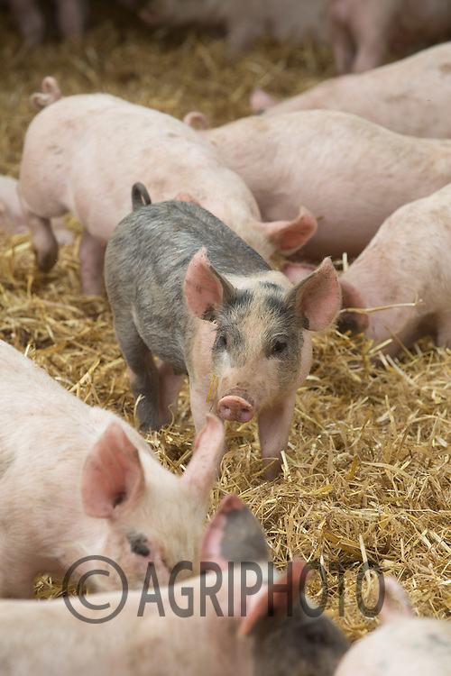 Weaner pigs in tents<br /> Picture Tim Scrivener 07850 303986<br /> &hellip;.Covering agriculture in the UK&hellip;.