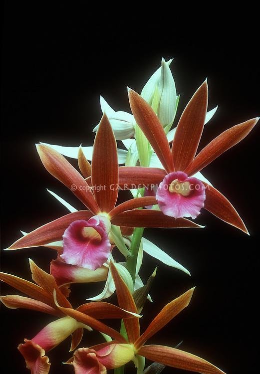 Phaius hybrid orchid, Phaius grandifolius x Phaius Gravesiae (Phaius grandifolius x Phaius wallichii), against black background