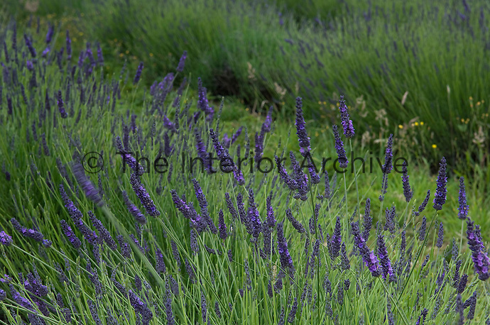 Detail Oflavandula x intermedia 'grosso' growing in the field