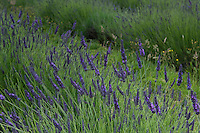 Detail Oflavandula x intermedia 'grosso' growing in the field