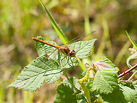 Female Common Darter {Sympetrum striolatum} at Dungeness RSPB nature Reserve Resting on Bramble