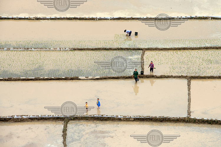 Children play as their parents plant rice seedlings in a paddy field. /Felix Features