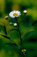 Close up of a Chamomile blossom.