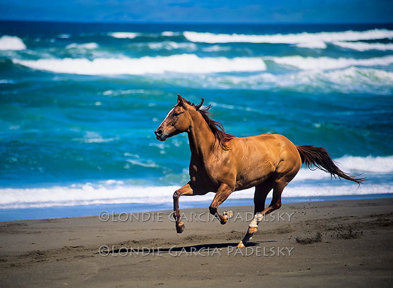 Quarter horse running on the beach, Central Coast, California