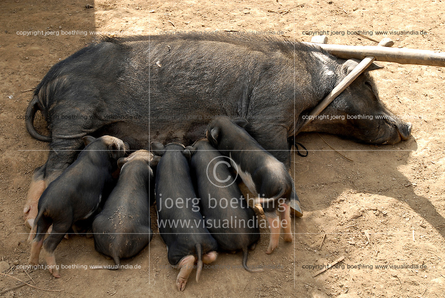 LAO PDR, village Nam Kha , livestock, small-scale agriculture, pig and sucking piglet / LAOS, Dorf Nam Kha , Hausschwein mit saugenden Ferkeln