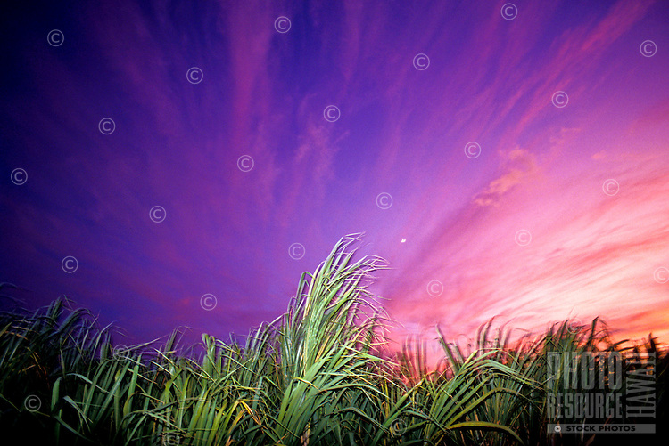 Sugar cane field lit up by the beautiful pinks and purples of the sunset