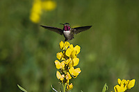Broad-tailed Hummingbird (Selasphorus platycercus),male in flight feeding on flower,Rocky Mountain National Park, Colorado, USA