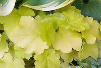 Heuchera Citronelle with Hosta