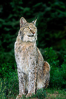 657149003 a canadian lynx felis lynx poses in a field of grasses - animal is a wildlife rescue - species is endangered in its northern north america habitat