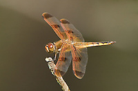 389160002 wild male painted skimmer dragonfly libellula semifasciata perched on twig angelina national forest jasper county texas