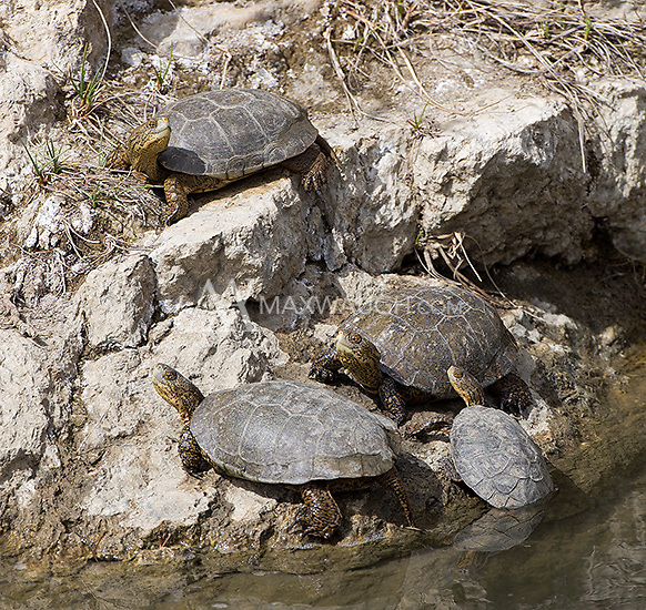 Southwestern pond turtles photographed in central California.