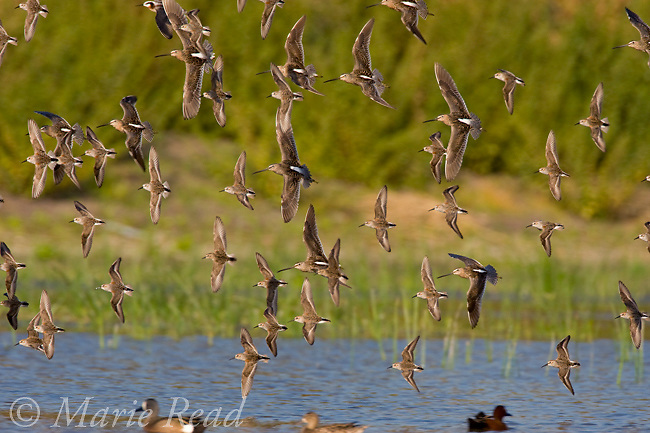 Western Sandpipers (Calidris mauri)and Dowitchers (Limnodromus sp.) flock in flight, Orange County, California, USA