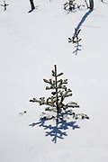 Softwood tree along Hancock Loop Trail in the White Mountains, New Hampshire USA during the winter months.