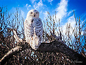 December 11, 2017 / Snowy Owl at Island State Park, NJ / Photo by Bob Laramie