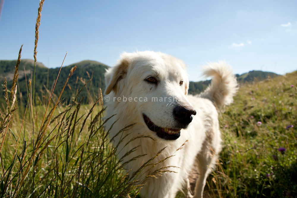 One of Bernard Bruno's 11 'Patou' [Great Pyrenees sheepdog] beside his flock that graze above the Plateau de Longon, in the Moyenne Tinée region of the Mercantour National Park, French Alps, France, 01 August 2013. Patous are subsidised by the French government for those who raise their sheep on mountain pastures in places at risk of wolf attacks. Their presence may be controversial, especially in areas where walking trails are present. Patous can behave aggressively towards strangers approaching their flocks of sheep and hikers often complain about the dogs.
