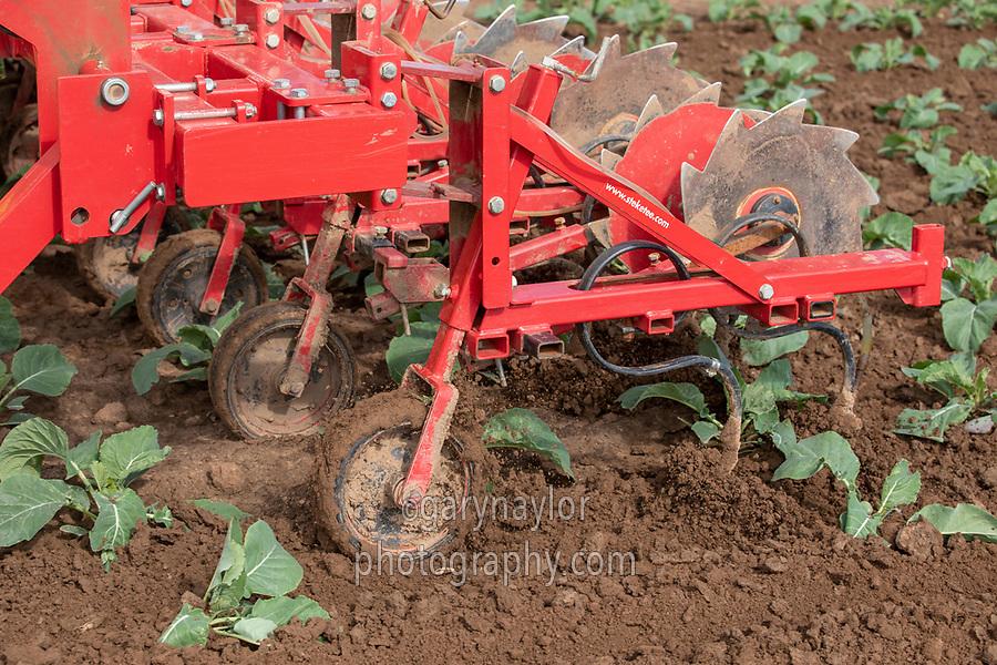 Applying liquid nitrogen to cauliflower - Lincolnshire, August