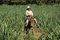 France/DOM/Martinique/Rivière-Pilote/Distillerie La Mauny: Le surveillant des coupeurs de cannes à sucre dans un champ à dos de mulet [Non destiné à un usage publicitaire - Not intended for an advertising use]