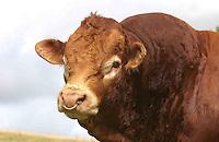 Pedigree Limousin beef bull at Hesket Newmarket, Cumbria.