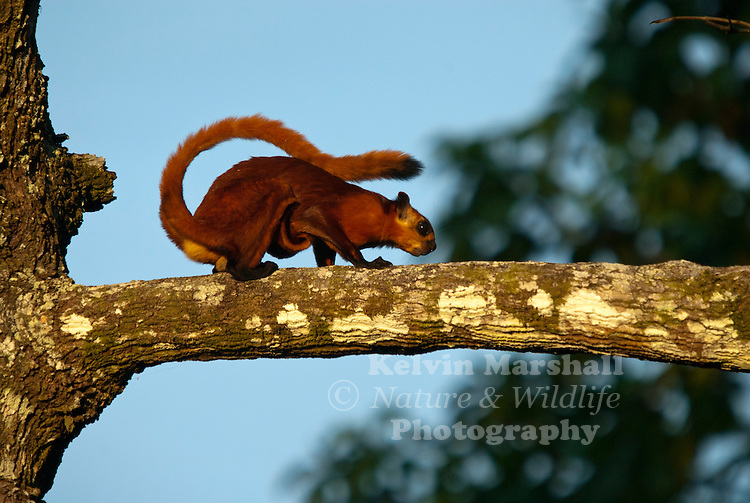 Red Giant Flying Squirrel (Petaurista petaurista) is a species of flying squirrel, which ranges from the eastern regions of Afghanistan, into Northern India including parts of Jammu & Kashmir, across the Himalayas through to Java, and Taiwan, and also Sri Lanka. It can also be found in parts of Borneo.