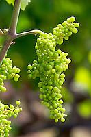 Unripe grapes. Strantza village near Naoussa. Macedonia, Greece.