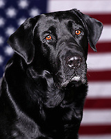 All American dog - Portrait of a Black Labrador posed in front of an American flag.