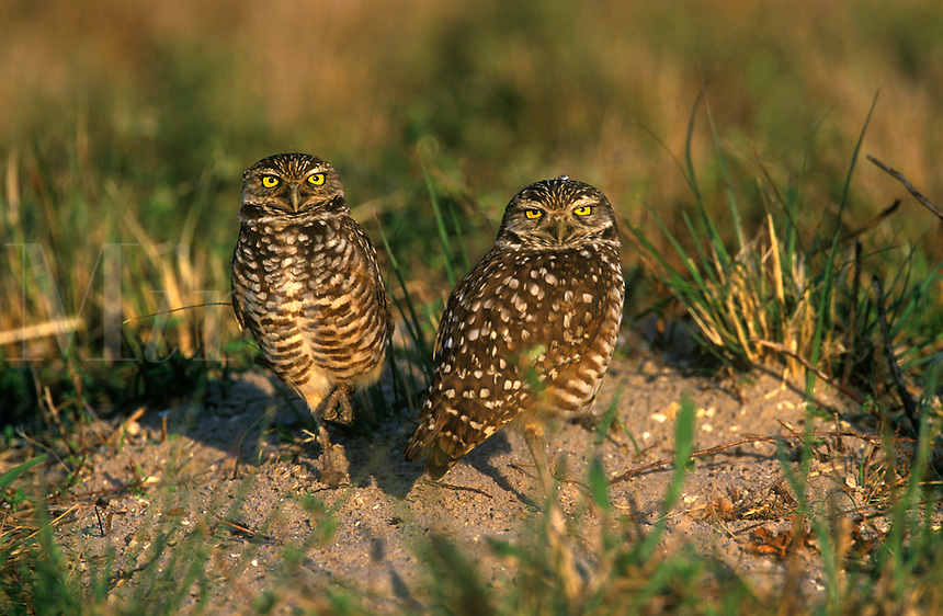 Burrowing Owl pair by burrow nest, Cape Coral, Florida