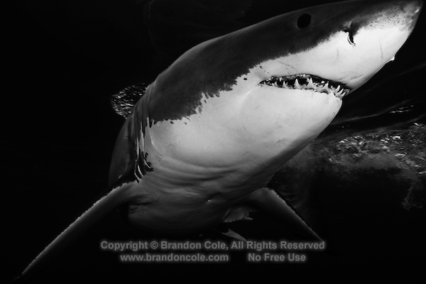 TE0324-Dbw. Great White Shark (Carcharodon carcharias), unquestionably dangerous, but not a bloodthirsty mindless killer. Worldwide temperate and subtropic waters. Capable of dives to at least 4000 feet, and epic migrations covering thousands of miles. Guadalupe Island, Baja, Mexico, Pacific Ocean. Color photo converted to black and white.<br /> Photo Copyright &copy; Brandon Cole. All rights reserved worldwide.  www.brandoncole.com