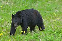 Black Bear eating dandelion flowers.