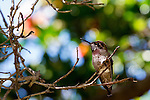 Hummingbird on a branch in Balboa Park, San Diego California.