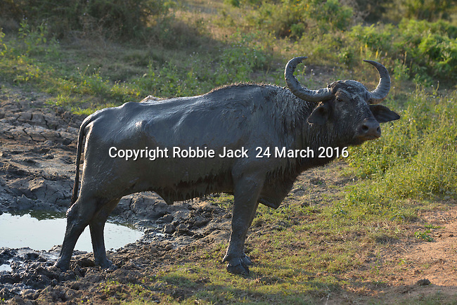 Yala National Park Sri Lanka<br /> Water Buffalo