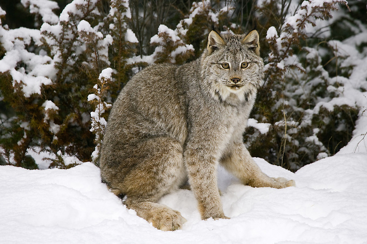Canada Lynx sitting by the edge of a forest - CA