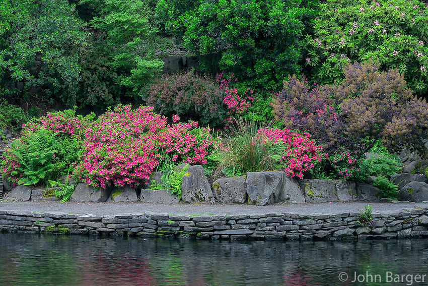 ORPTC_D165 - USA, Oregon, Portland, Crystal Springs Rhododendron Garden, Blooming azaleas and ferns along walkway above Crystal Springs Lake.