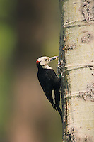 White-headed Woodpecker with caterpillar, Deshutes National Forest, Oregon
