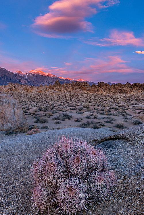 Cottontop Cactus, Echinocactus polycephalus, Alabama Hills, Eastern Sierra, Inyo National Forest, California