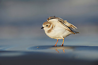 Piping Plover (Charadrius melodus), adult walking, Port Aransas, Mustang Island, Texas Coast, USA