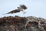 osprey taking off
