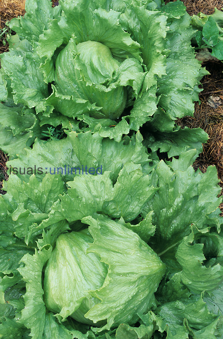 Heads of Lettuce, Summertime variety