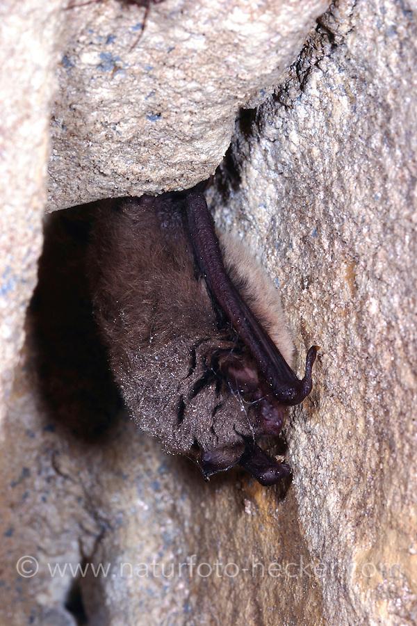 Kleine Bartfledermaus, Myotis mystacinus, Whiskered bat