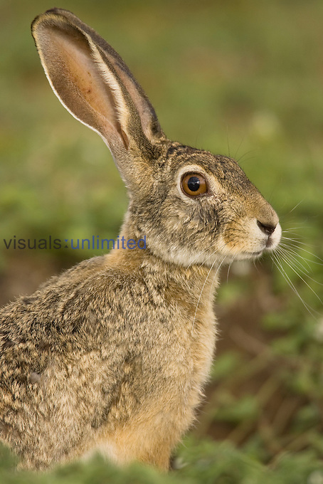 African Savanna Hare, Lepus microtis, in the Masai Mara Game Reserve, Kenya.
