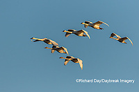 00758-01720 Trumpeter Swans (Cygnus buccinator) in flight Riverlands Migratory Bird Sanctuary St. Charles Co., MO