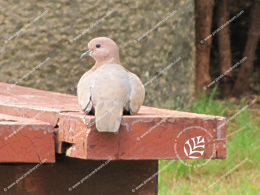 Innocent looking cute dove sitting quietly on wooden garden bench