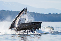humpback whale, Megaptera novaeangliae, adult, pod, bubble net feeding, Angoon, Chatham Strait, Alaska, USA, Pacific Ocean