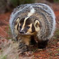 Badger walking - CA