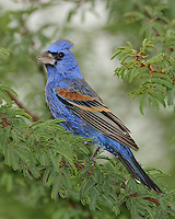 Blue Grosbeak, Garza Ranch, South Texas