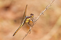 389260004 a wild female yellow-sided skimmer libellula flavida peches on a dead flower stalk at big creek scenic area jasper county texas united states