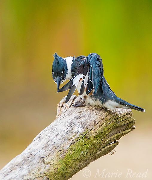 Belted Kingfisher (Ceryle alcyon) female preening her wing, running a wing feather through her bill to flatten it, Lansing, New York, USA