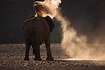 Namibia;  Namib Desert, Skeleton Coast, Hoanib River, desert elephant (Loxodonta africana) dusting himself