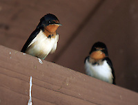 bird on board barn swallow